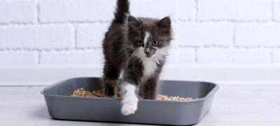 Как приучить маленького котенка к туалету