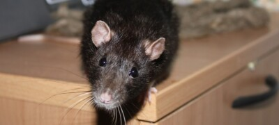 Избавляемся от крыс в своем доме правильно