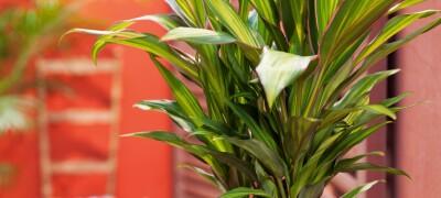 Особенности популярного комнатного растения Кордилина