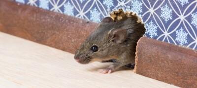 Проблемы с мышами в доме