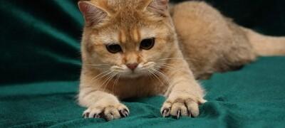 Как отучить кошку царапать обои и мебель
