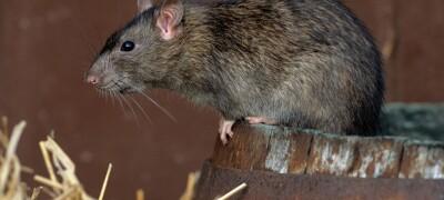 Как выбрать самый эффективный яд для крыс