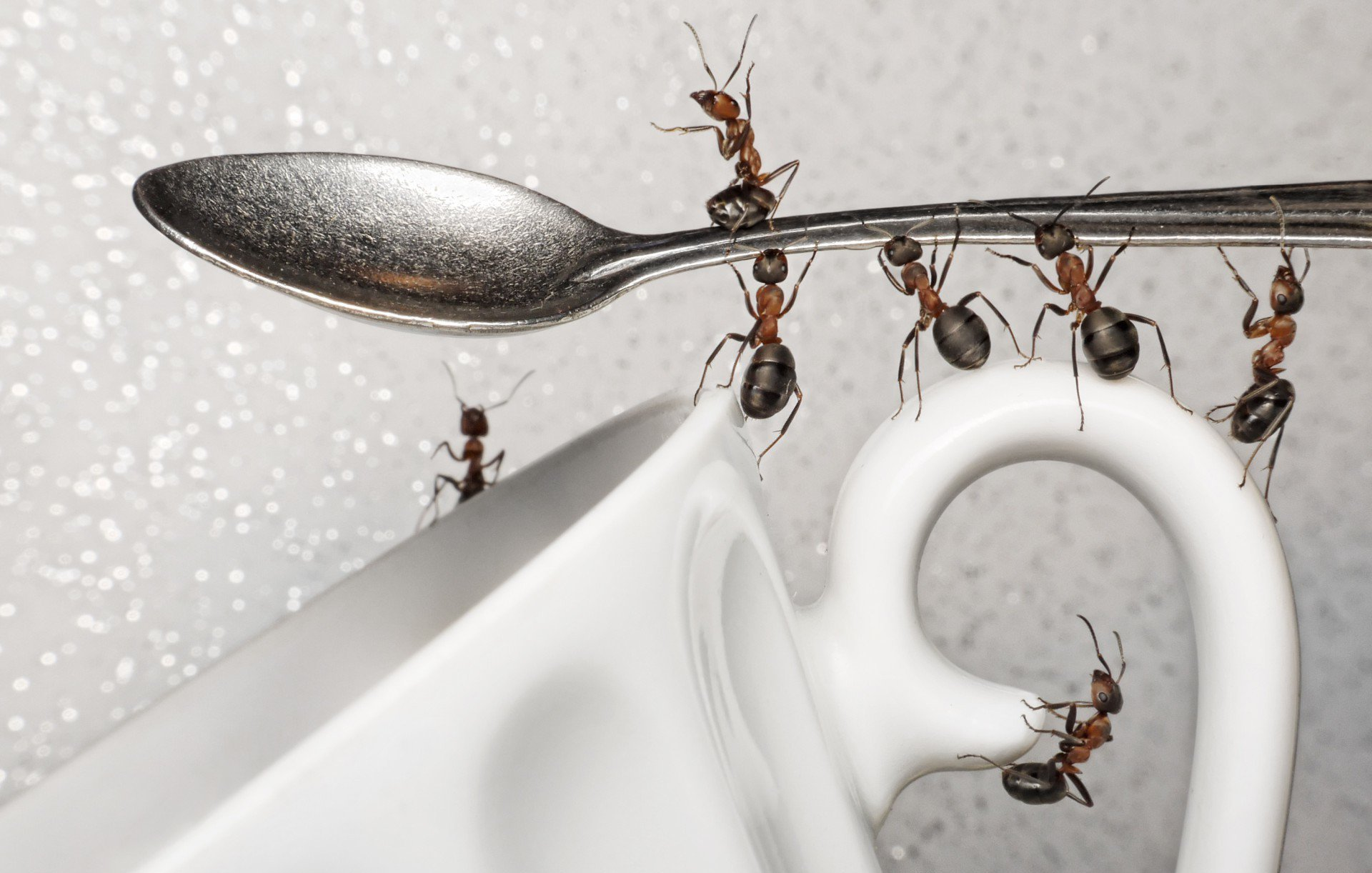 домашние муравьи