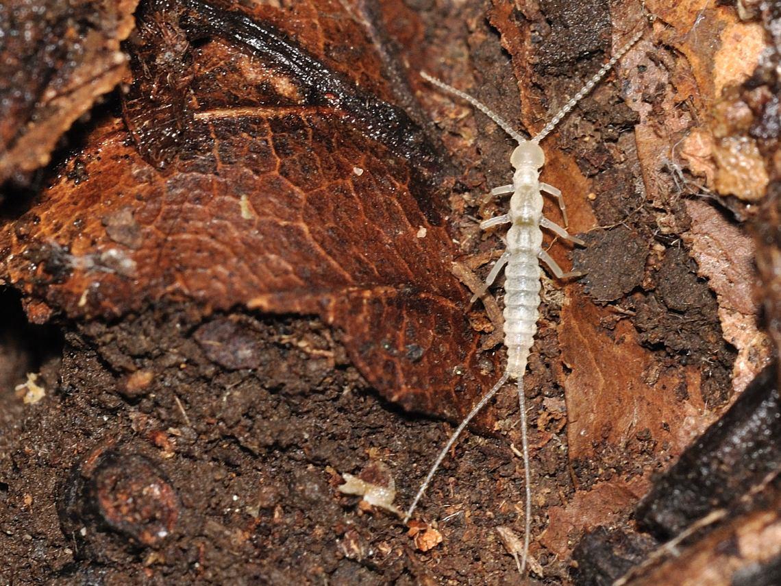 двухвостка фото насекомого