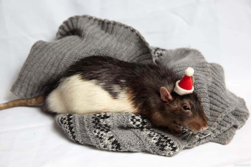 год крысы характеристика знака