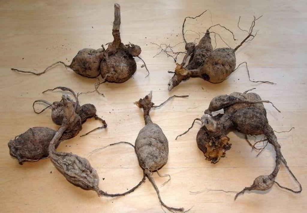 как разделить корень георгина