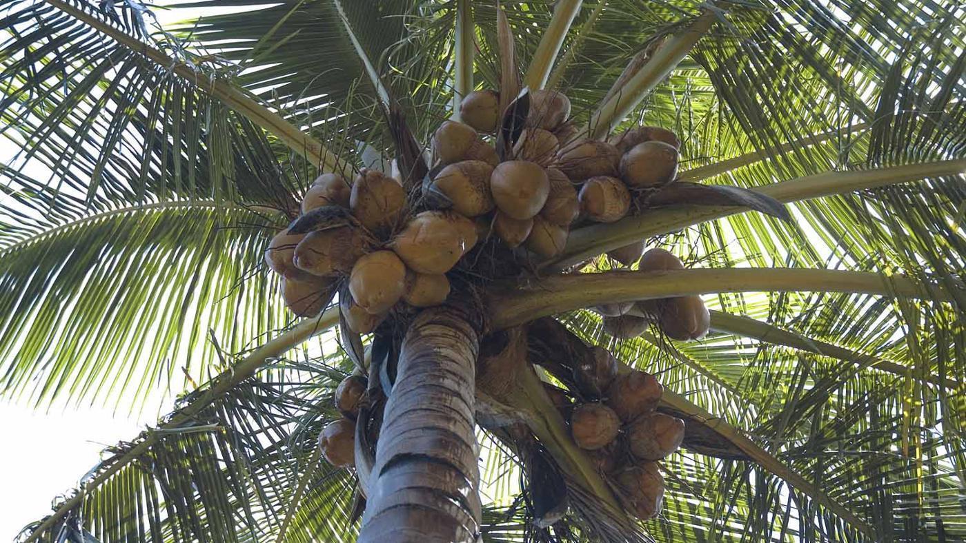 кокосовая пальма вид