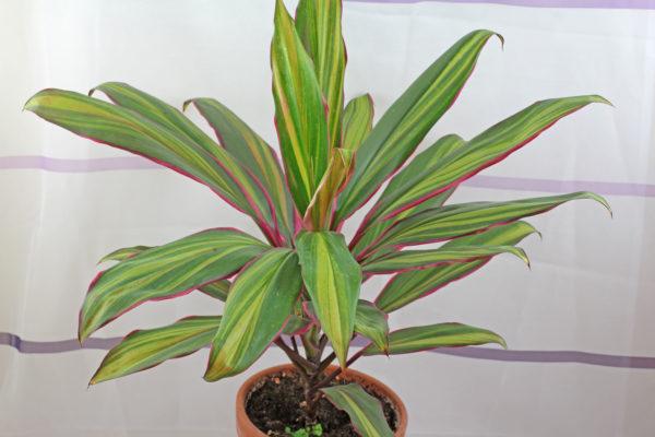 В общем растение считается неприхотливым, но есть некоторые особенности, которые нужно обязательно принимать во внимание.
