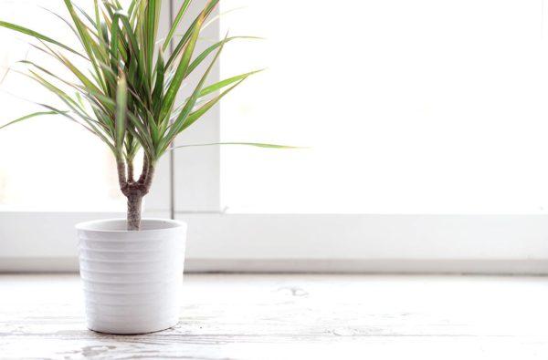 Чтобы листья имели насыщенный зеленый цвет – проветривайте помещение каждый день.