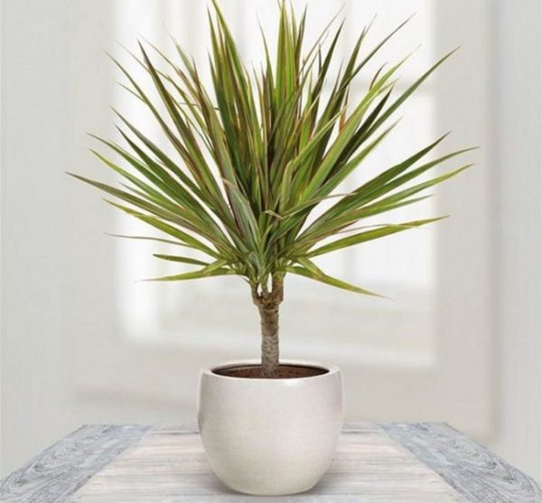 Кроме этого, чтобы листья не теряли своей яркости и в осенне-зимний период, позаботьтесь о дополнительном освещении комнаты.