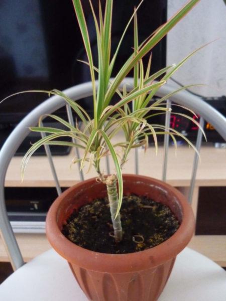 Пересаживать молодые растения в отдельные горшочки нужно не раньше, чем появится четвертый настоящий листочек.