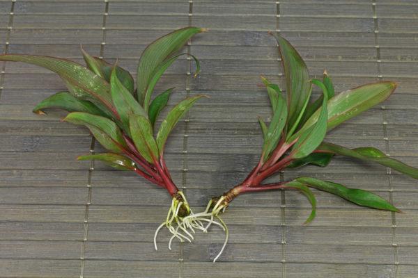 Еще один способ размножить это растение – деление.