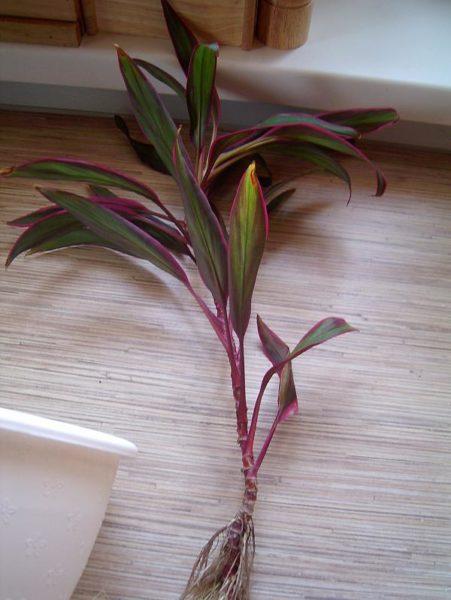 Даже в случае, когда от основного растения случайно отломился побег, его можно попробовать укоренить.