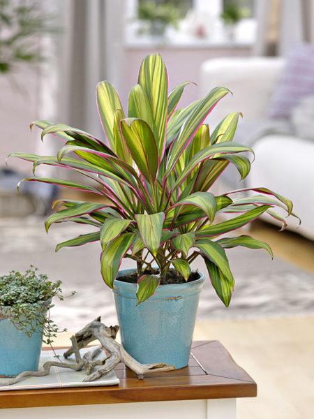 Обязательно следите, чтобы растение не стояло на сквозняке.