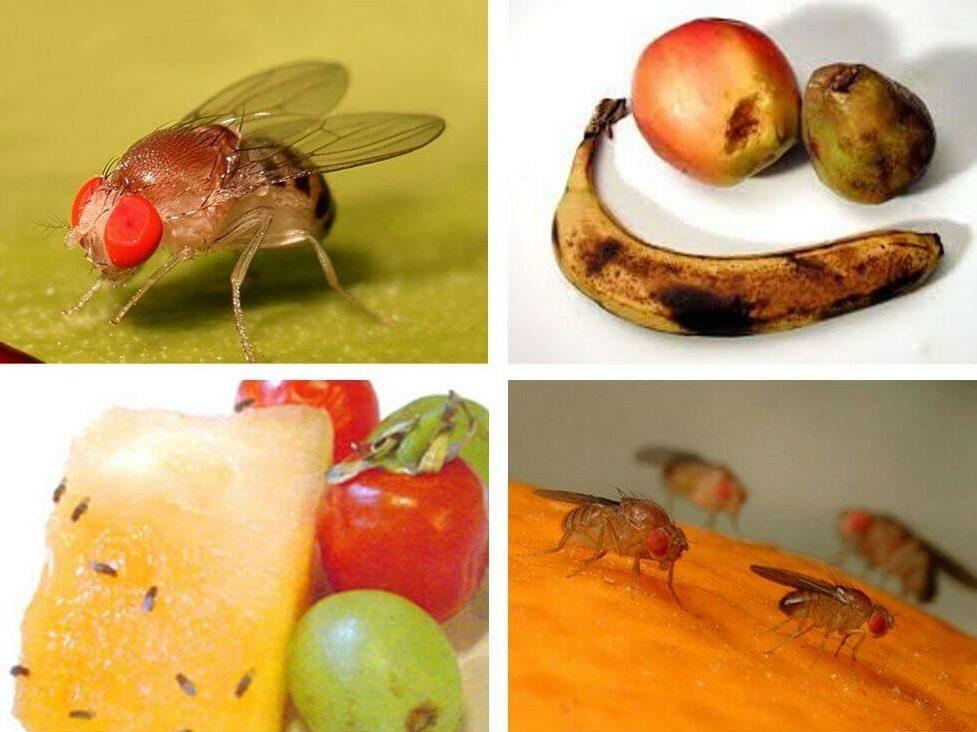 мошки на испорченных фруктах