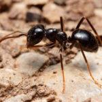 муравей садовый