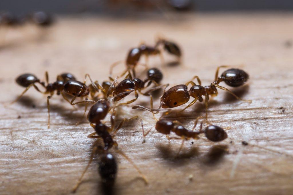 муравьи в частном доме