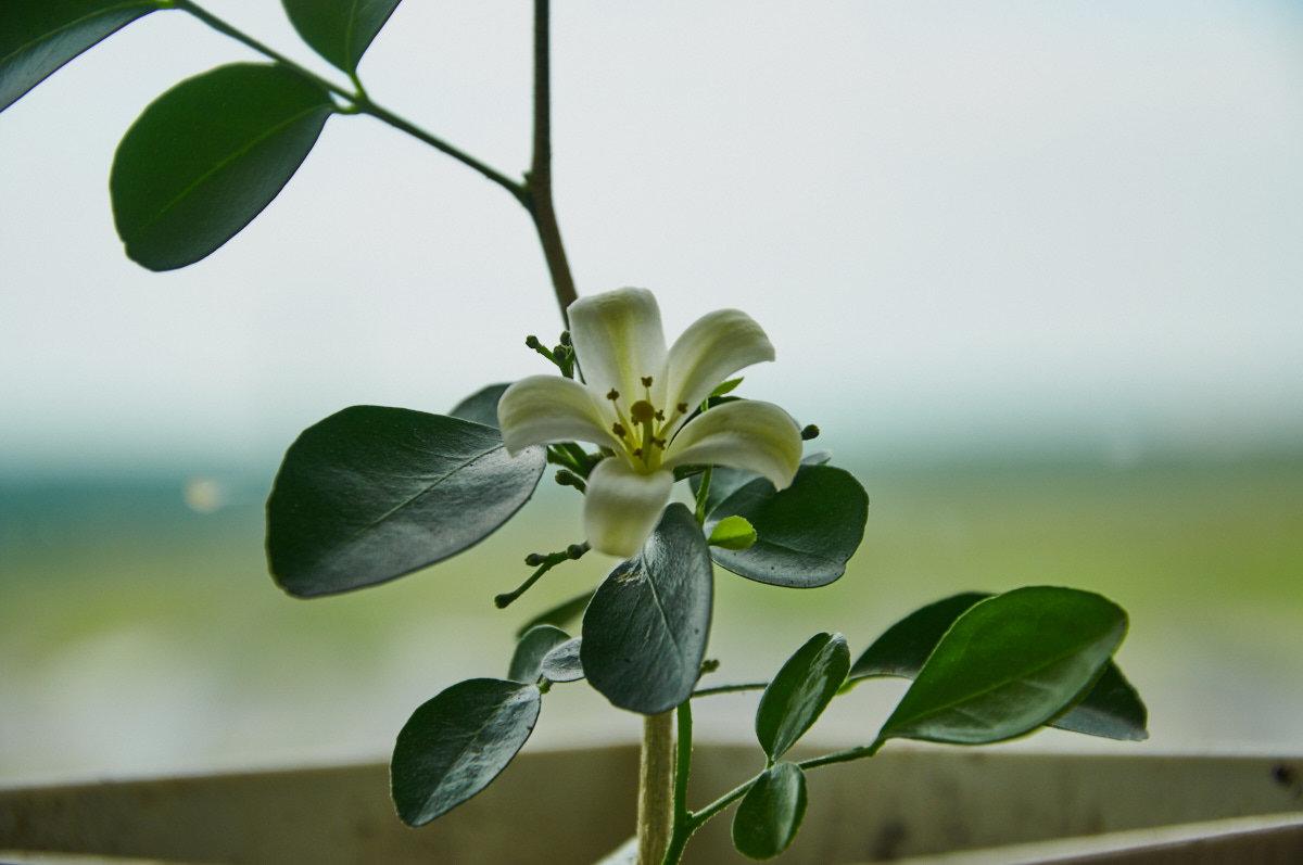 этом цветок мурайя картинки что