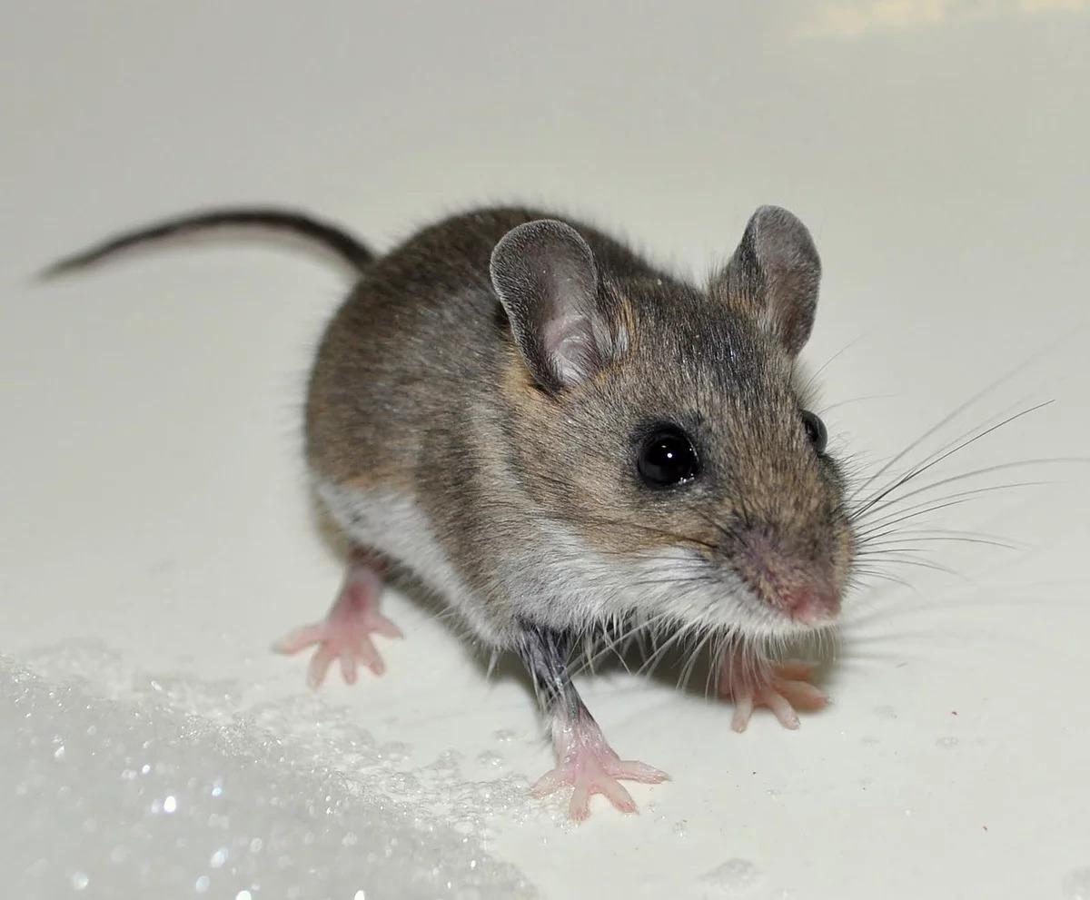 мышь домашняя