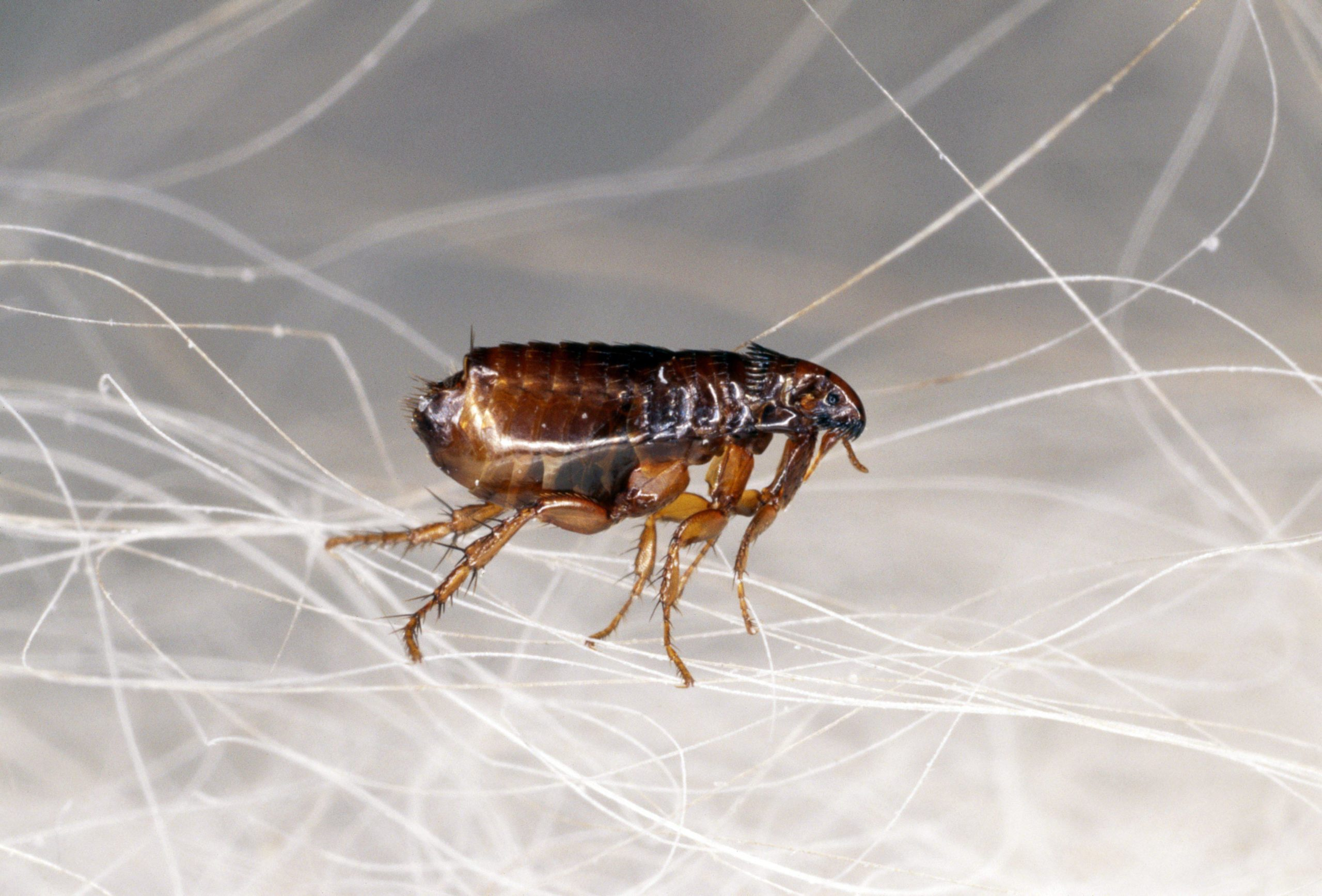 насекомое блоха