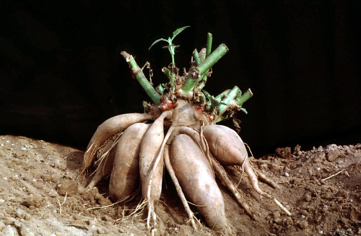 размножение георгинов черенками