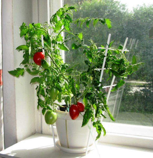 Рекомендуется положить листочков 10 томата по комнате, а для полного эффекта можно расставить горшочки на подоконнике.