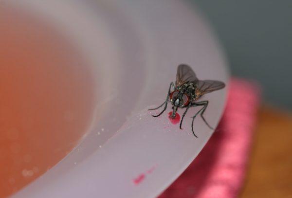 Обычно мухи чаще всего гнездятся в мусорных баках, затем перебираются на кухню и в другие комнаты.