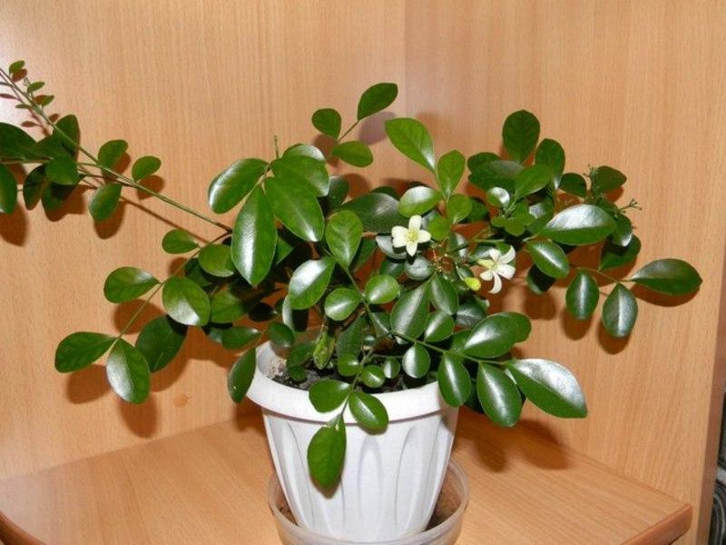 вырастить растение муррайи
