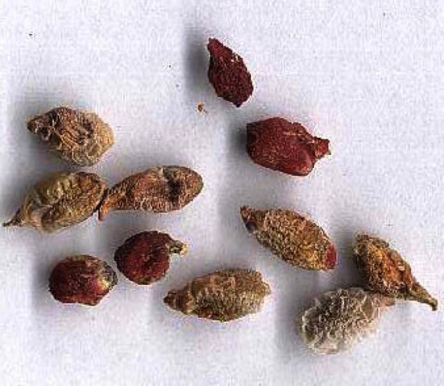 аглаонема семена