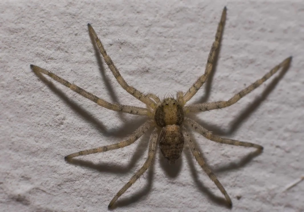 домашний паук фото