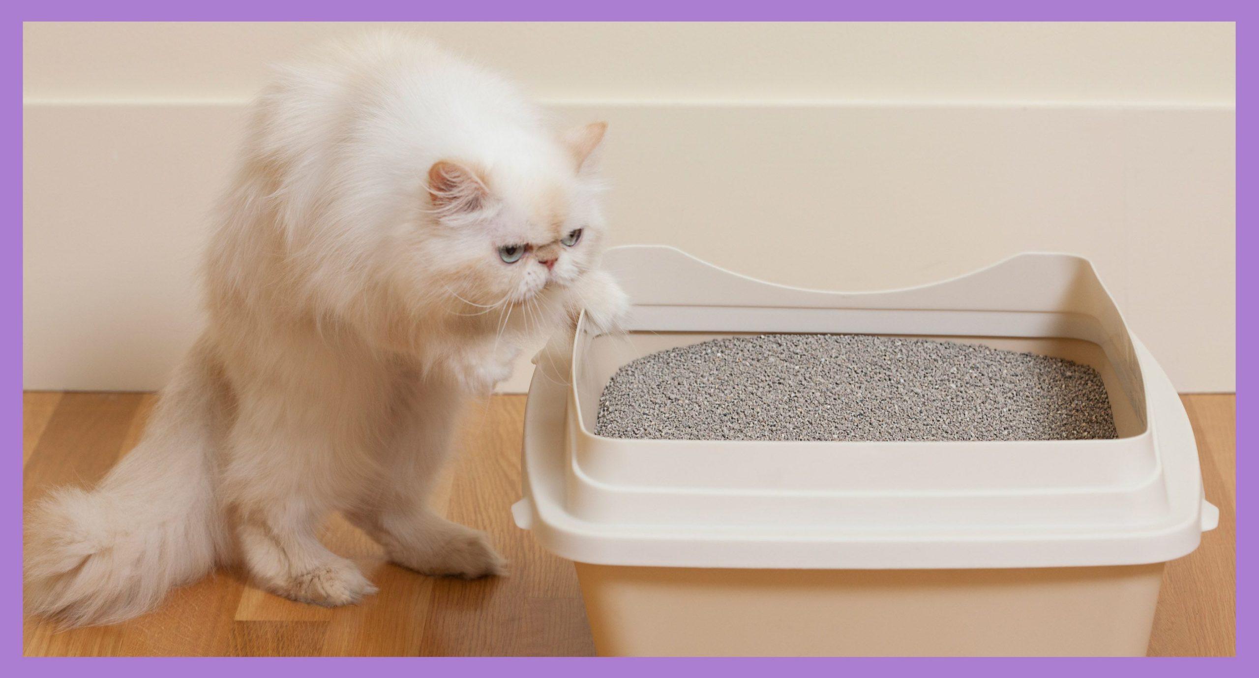 как приучить к лотку взрослого кота