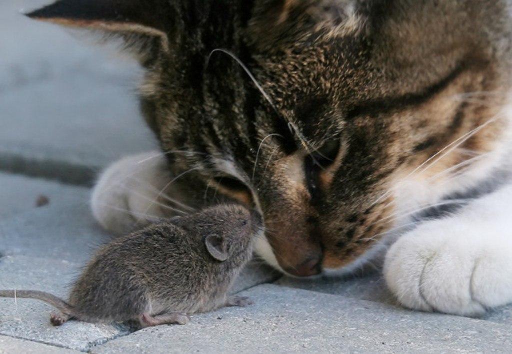 кот и мышь