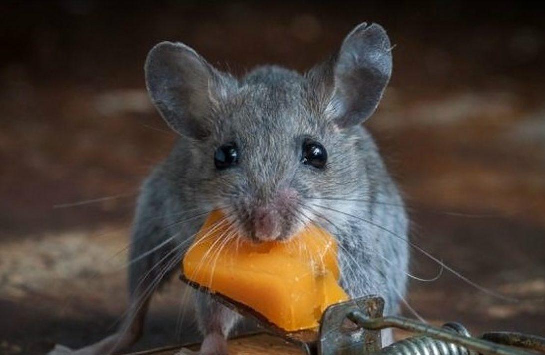 мышь с сыром из мышеловки