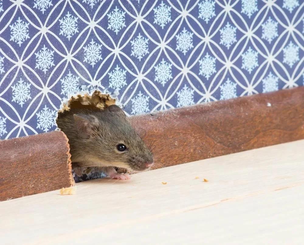 мышь в доме фото