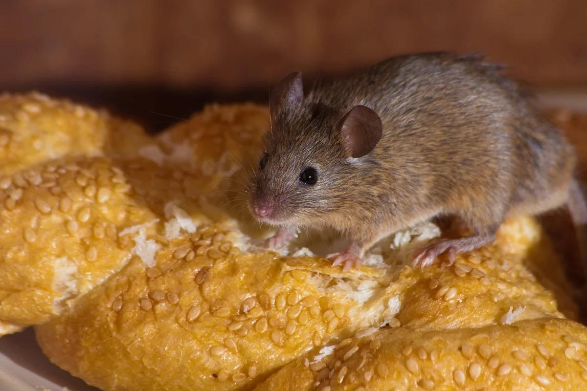 мышь в доме на продуктах