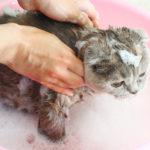 мытьё кота шампунем