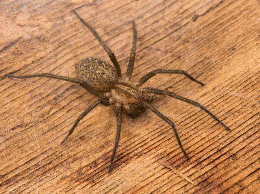 паук бродяга