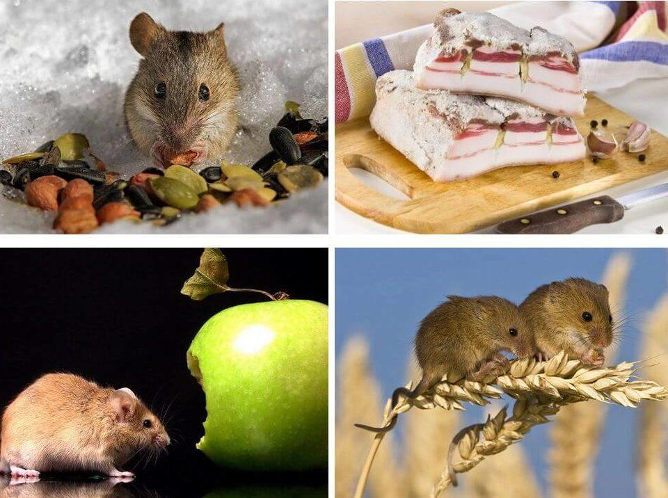 что любят крысы