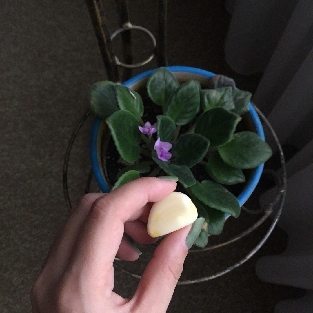 чеснок для комнатных цветов