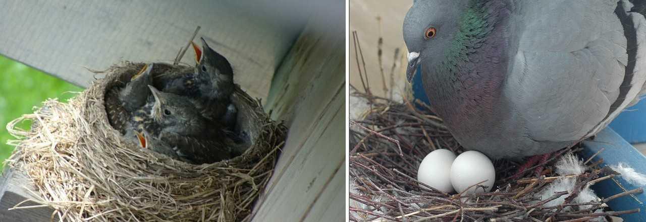гнездо голубей на балконе