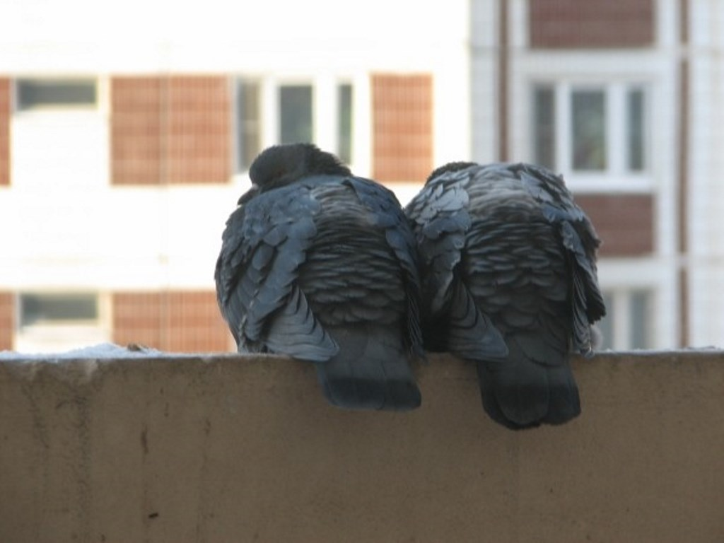 голуби на балконе квартиры