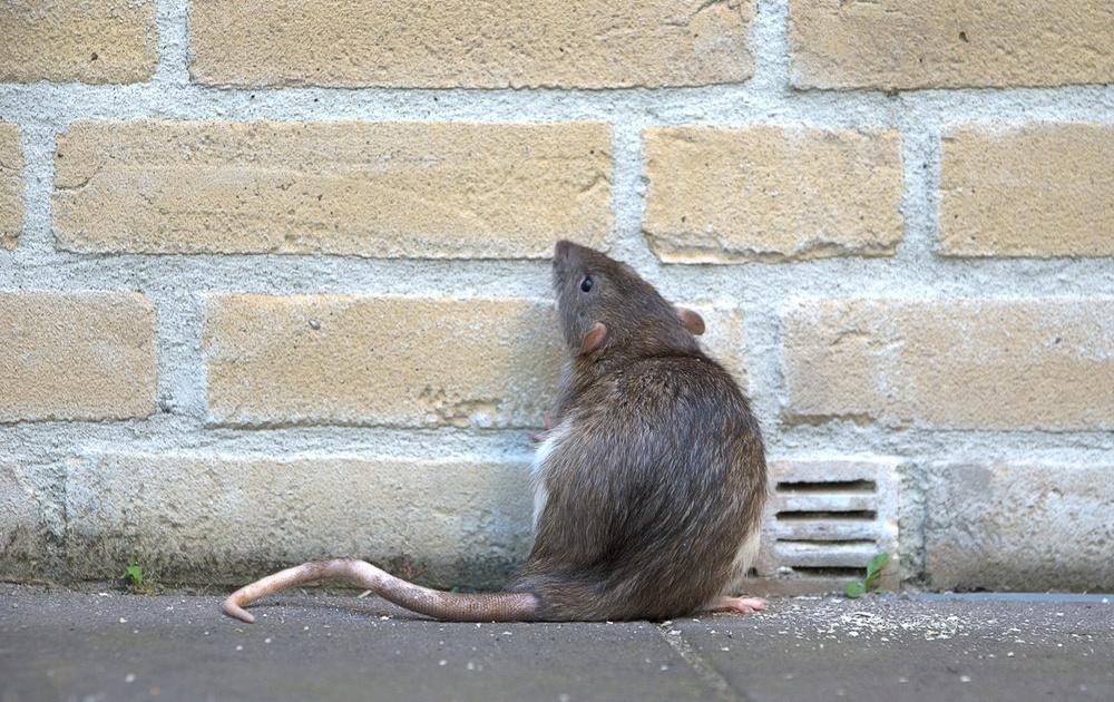 городская крыса