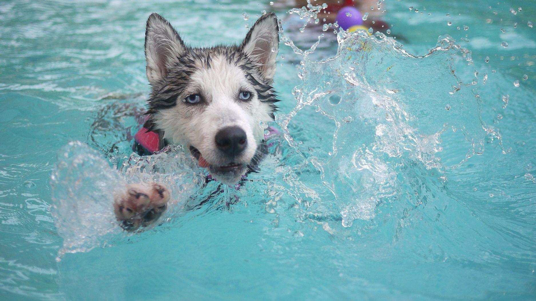 хаски плавает в бассейне