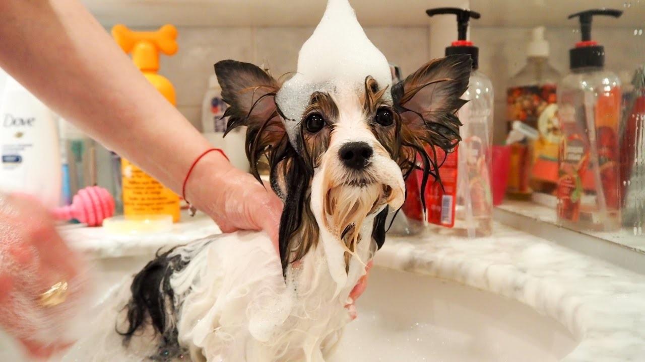 собака с большими ушами купается
