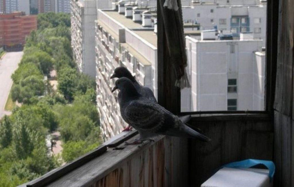 как прогнать голубей
