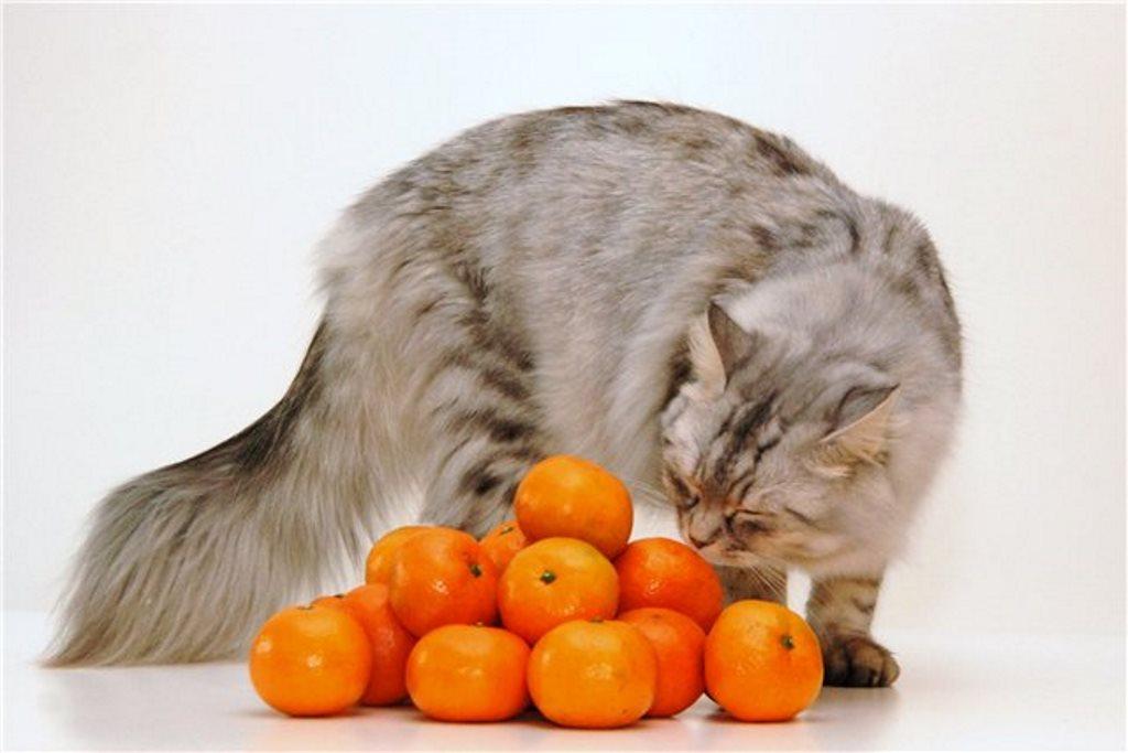 кот с мандаринами