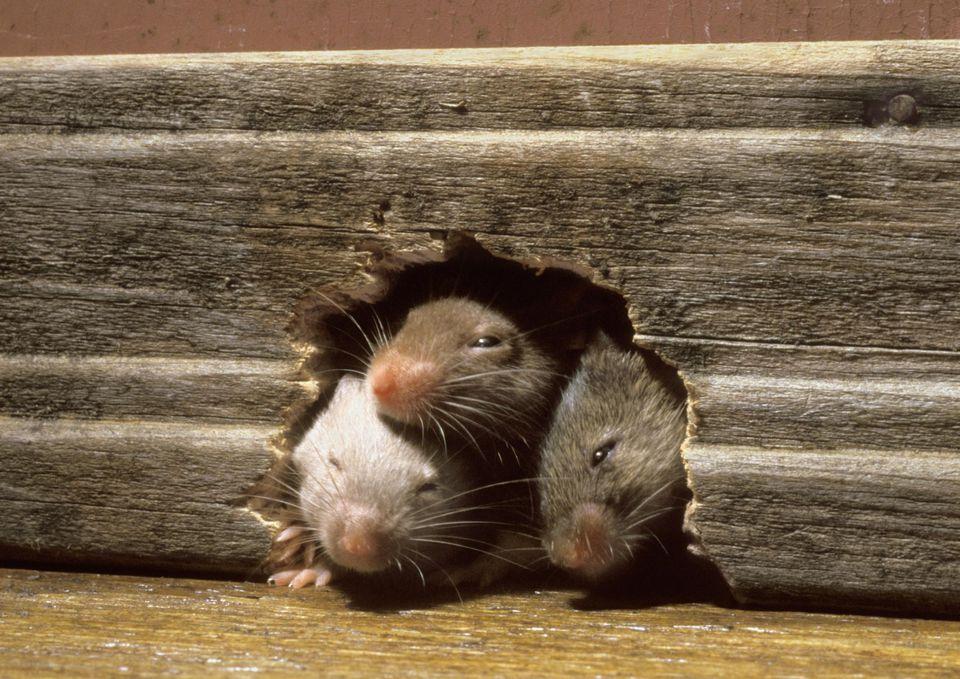 крысы в доме фото