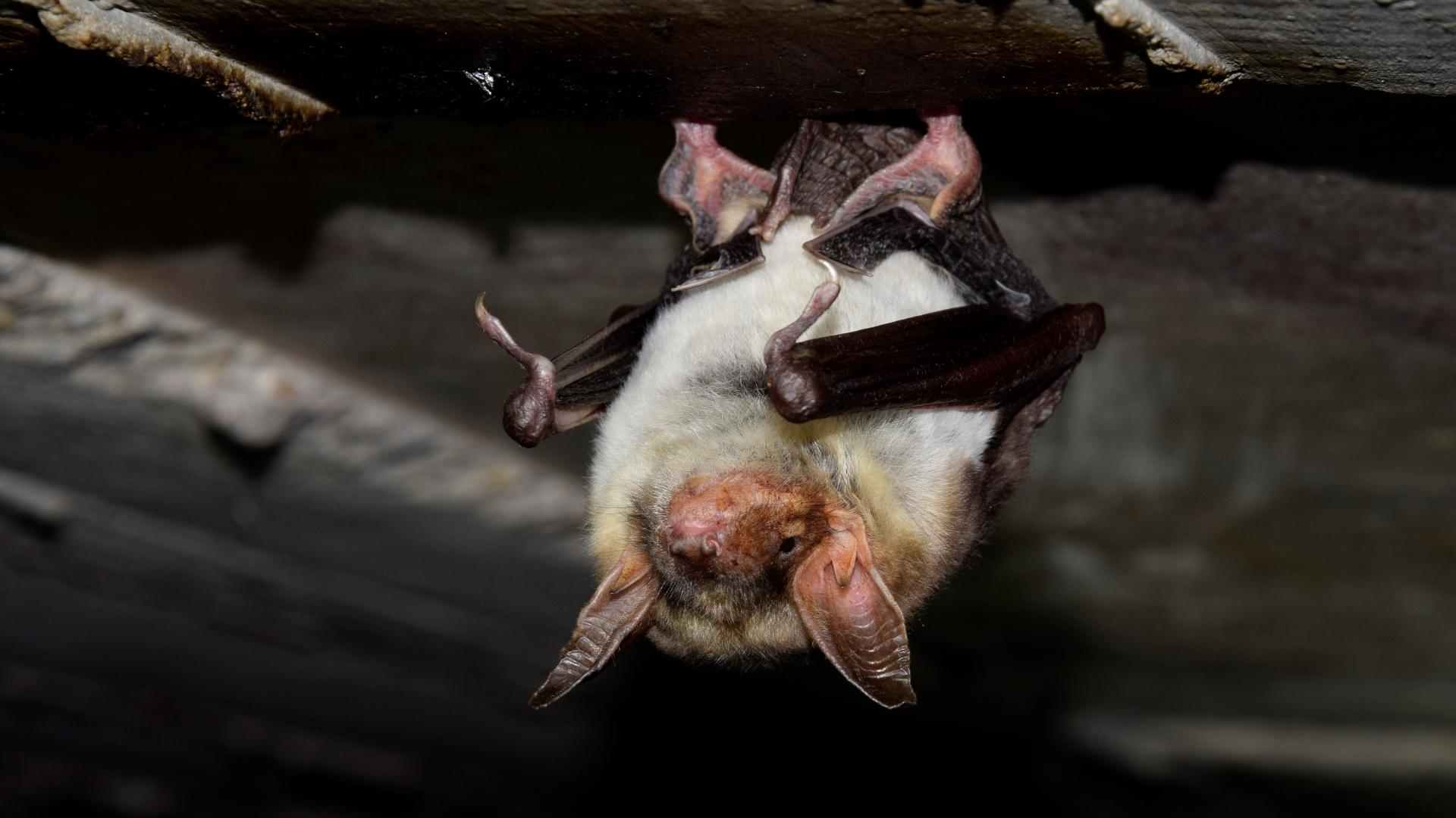 летучая мышь на чердаке