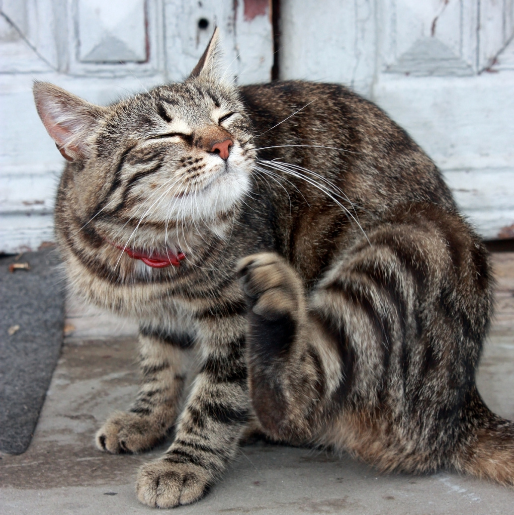 Наличие блох у кошки