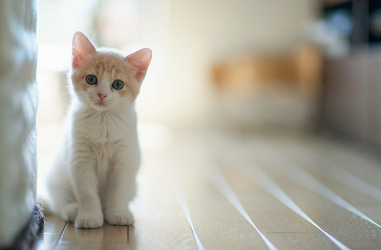 воспитанная кошка
